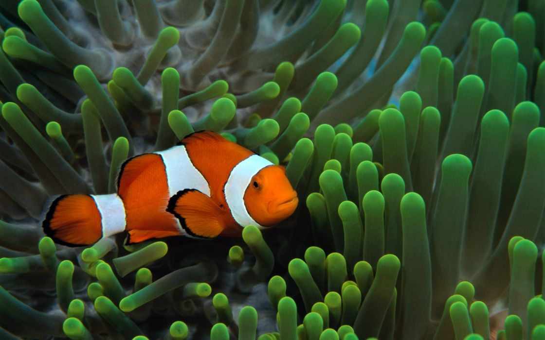 fish clownfish underwater wallpaper