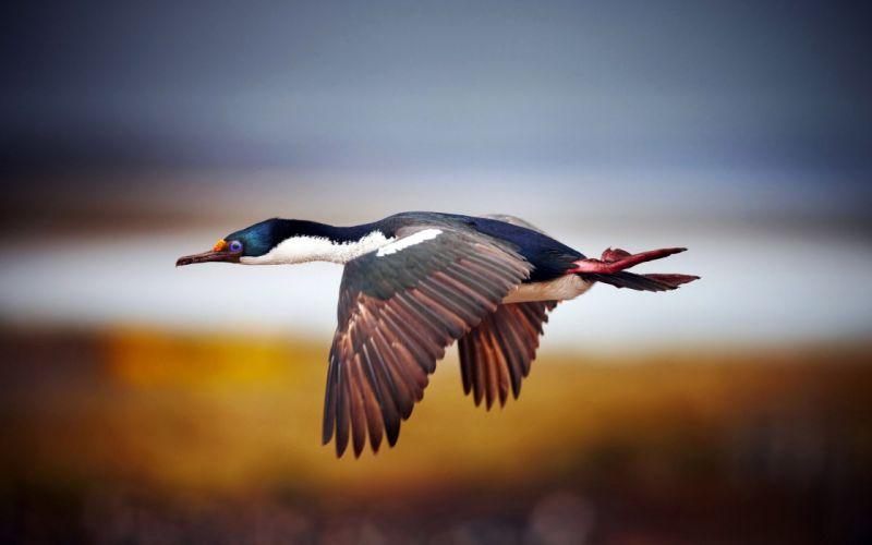 flying birds ducks blurred background wallpaper