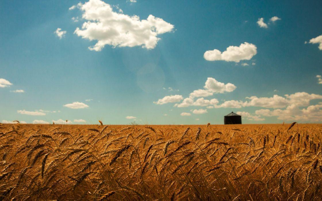 summer wheat field gold spikes sky clouds landscapes grass wallpaper