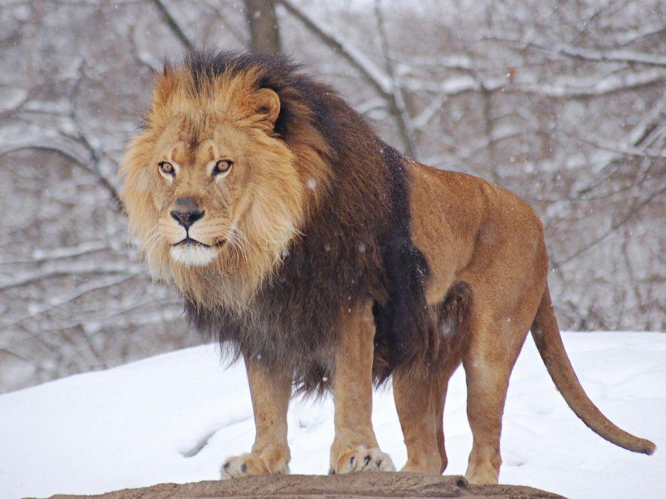 nature winter snow animals lions wallpaper