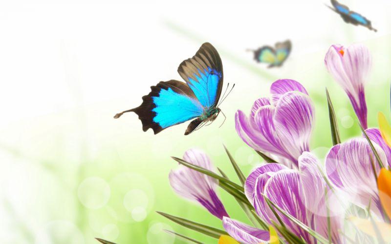 spring flowers crocus butterflies wallpaper