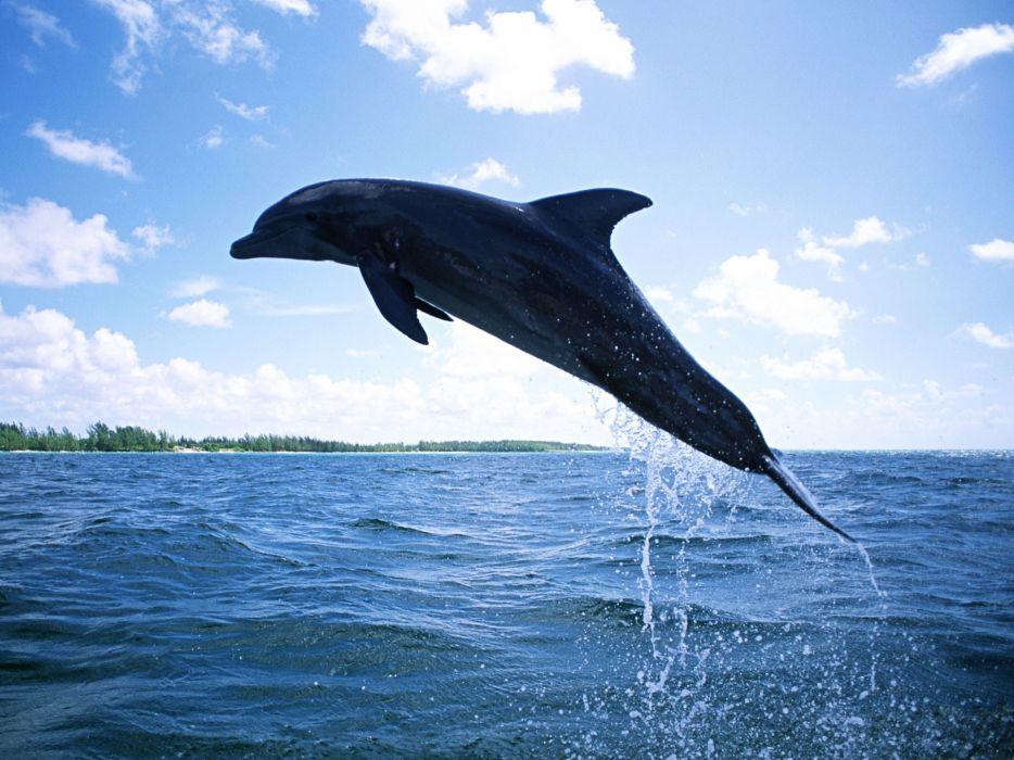 dolphins mammals diving wallpaper