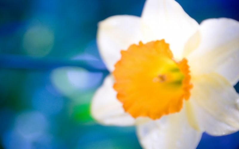 nature flowers daffodils wallpaper