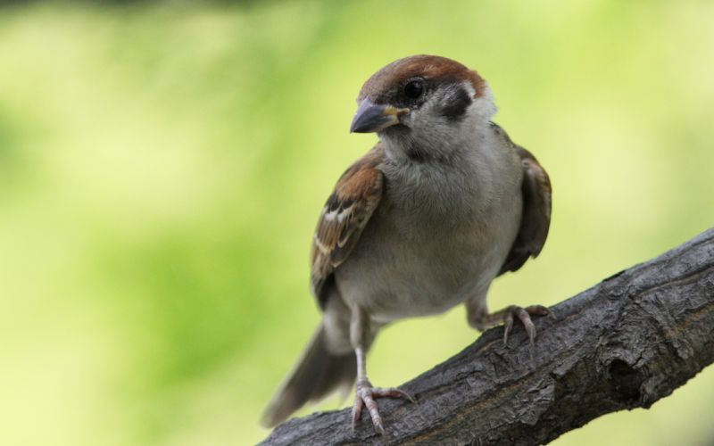 birds sparrow wallpaper