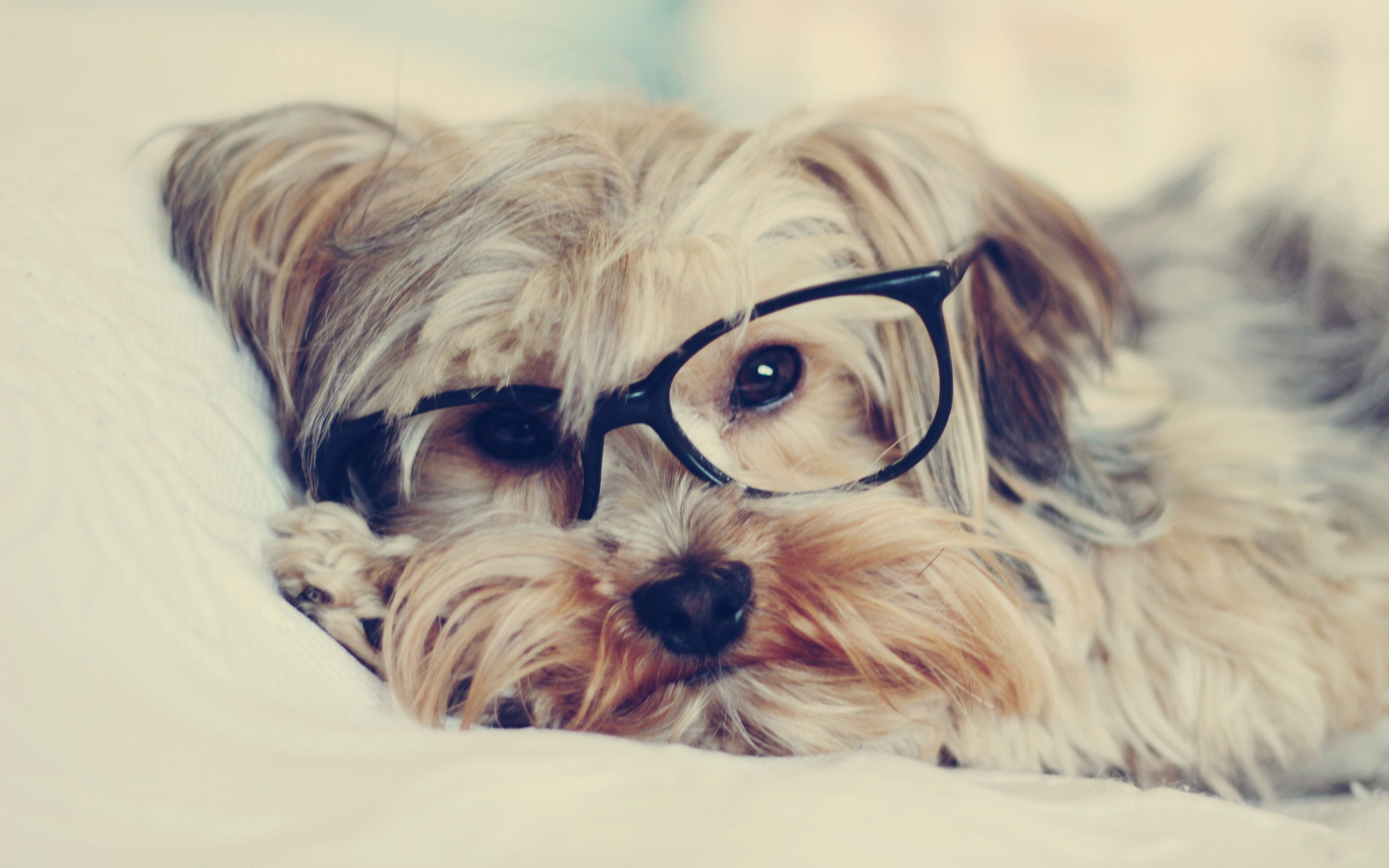 Animals dogs glasses puppies hipster wallpaper   2560x1600 ...