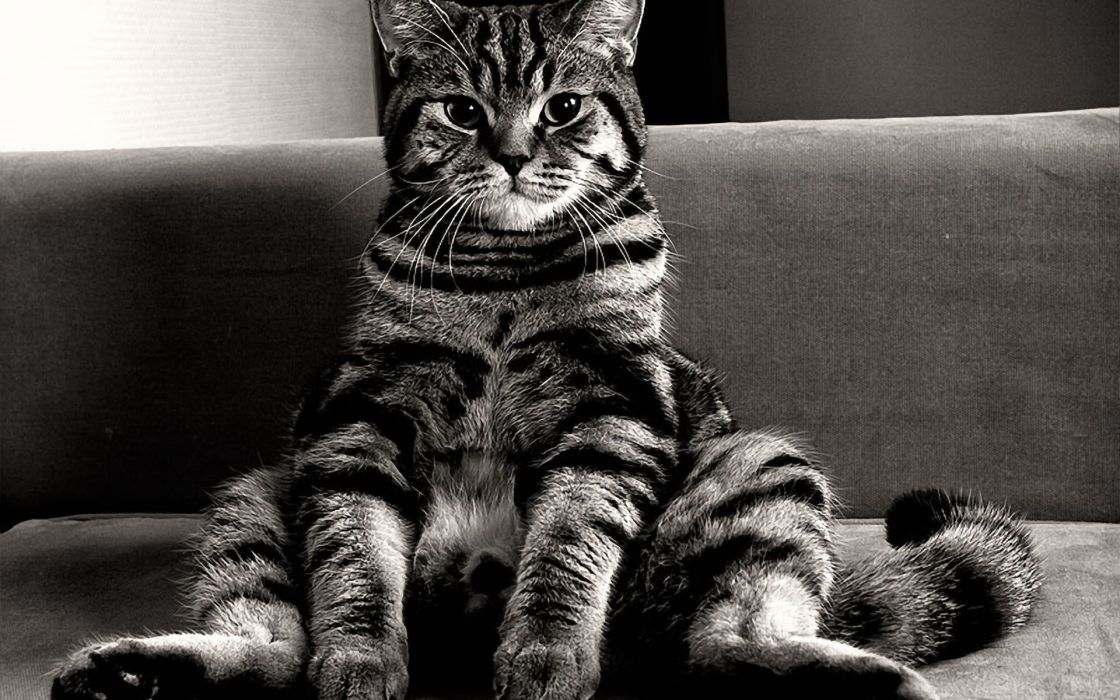 couch cats monochrome sitting wallpaper
