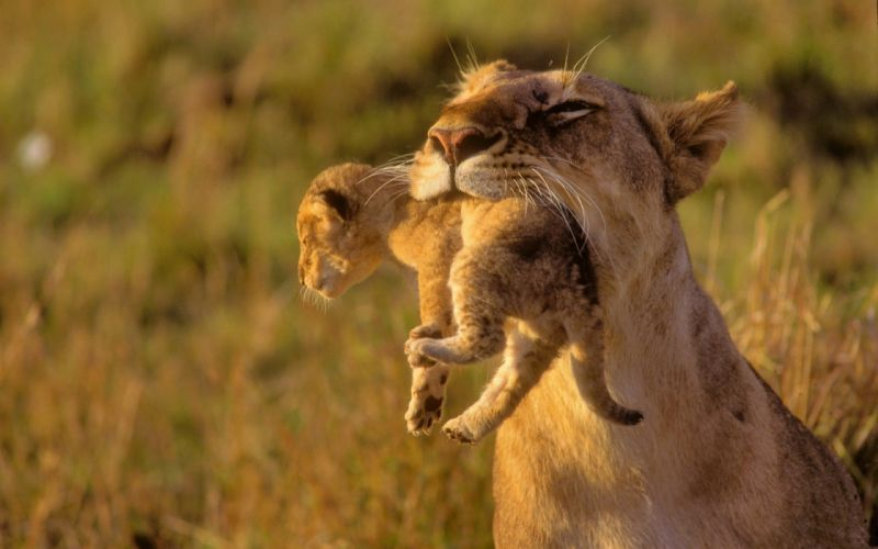 animals cubs Africa lions baby animals wallpaper