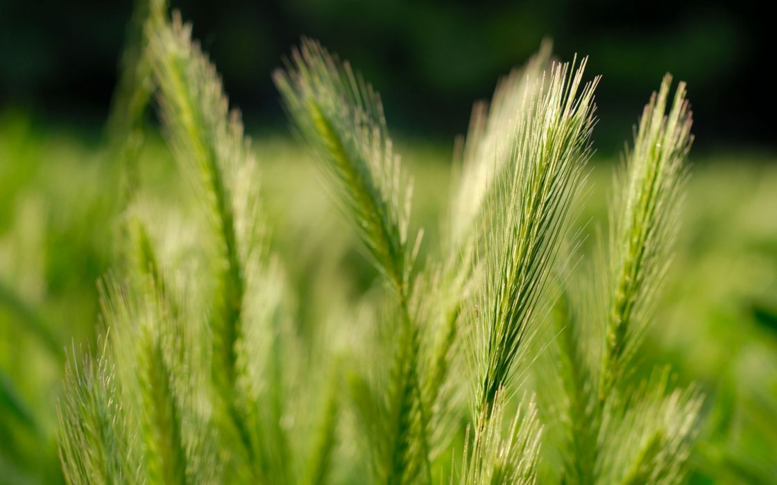 green nature fields wheat grain wallpaper