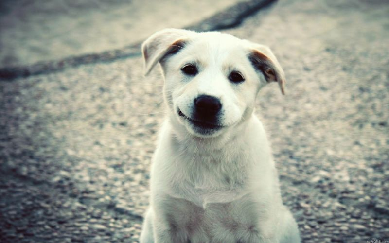 animals dogs puppies smiling wallpaper