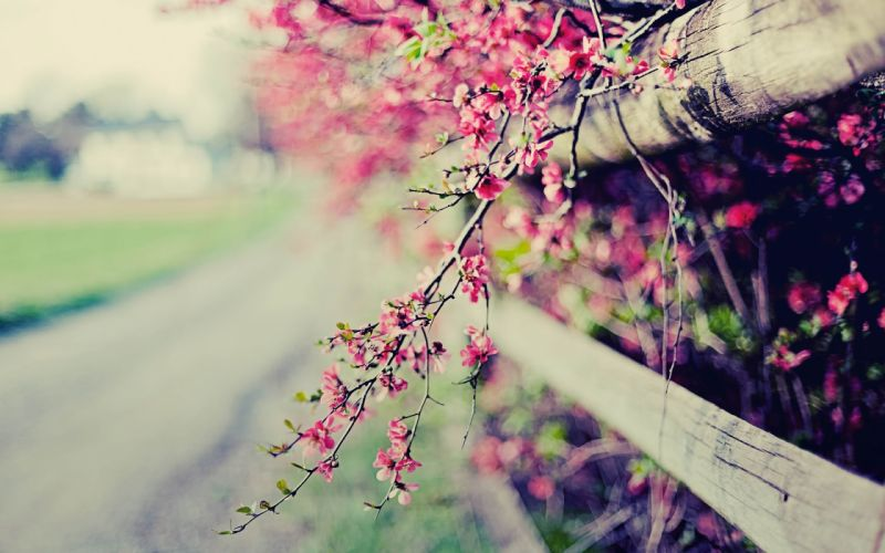 flowers fences bokeh pink flowers wallpaper