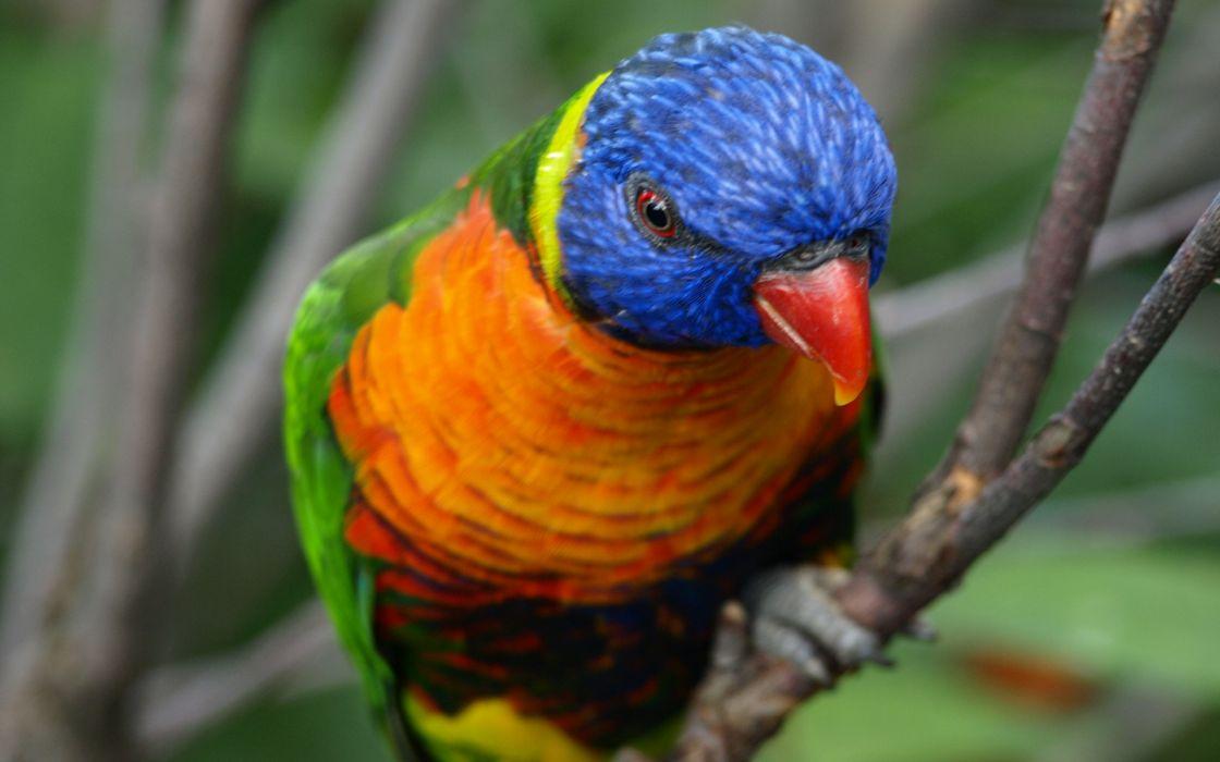 birds rainbow lorikeet wallpaper