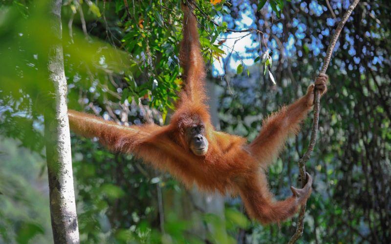 jungle monkeys orangutans wallpaper