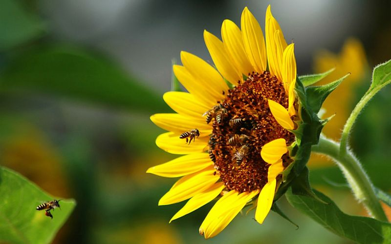 flowers insects bees sunflowers wallpaper