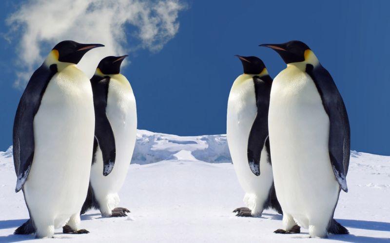nature birds animals penguins wallpaper