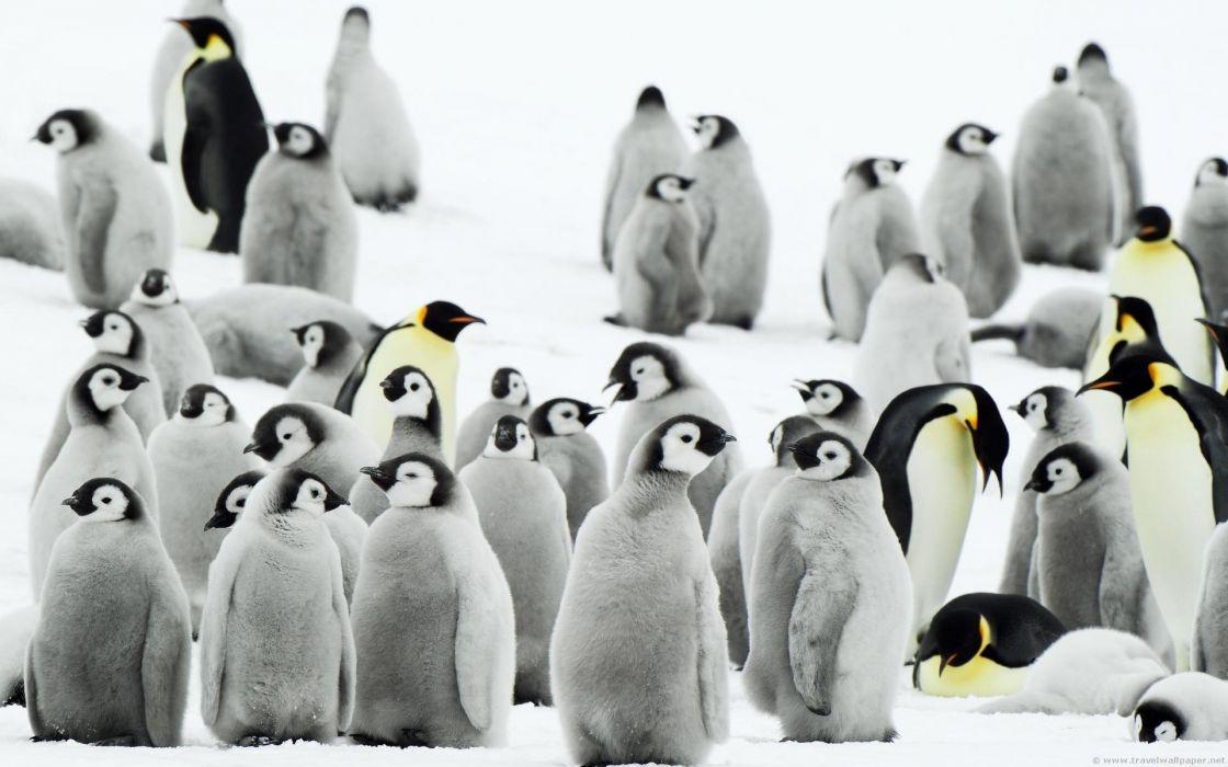 snow birds penguins baby birds wallpaper