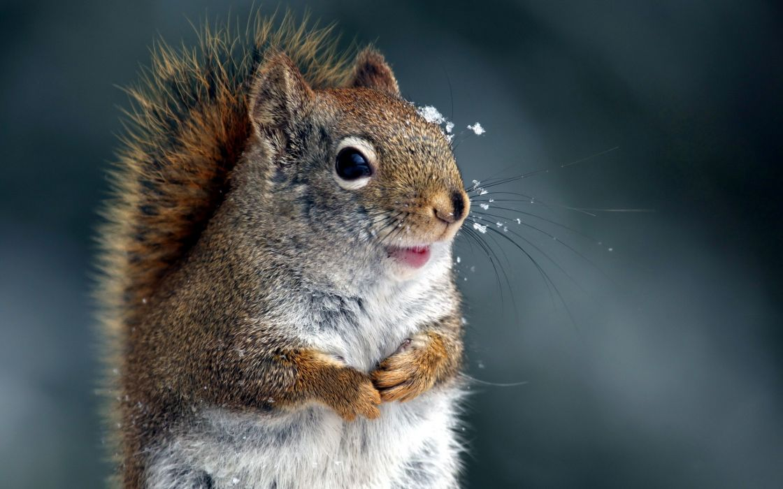 close-up nature winter animals squirrels wallpaper