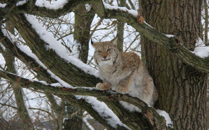 animals lynx feline wallpaper