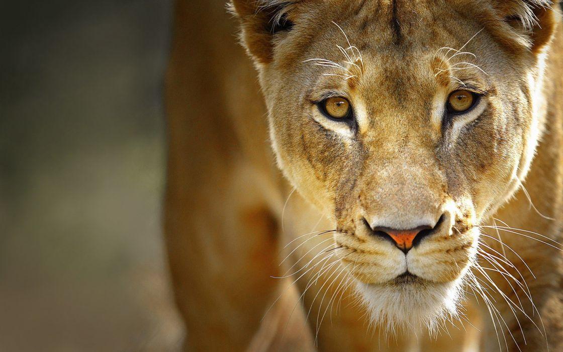 close-up nature animals lions wallpaper