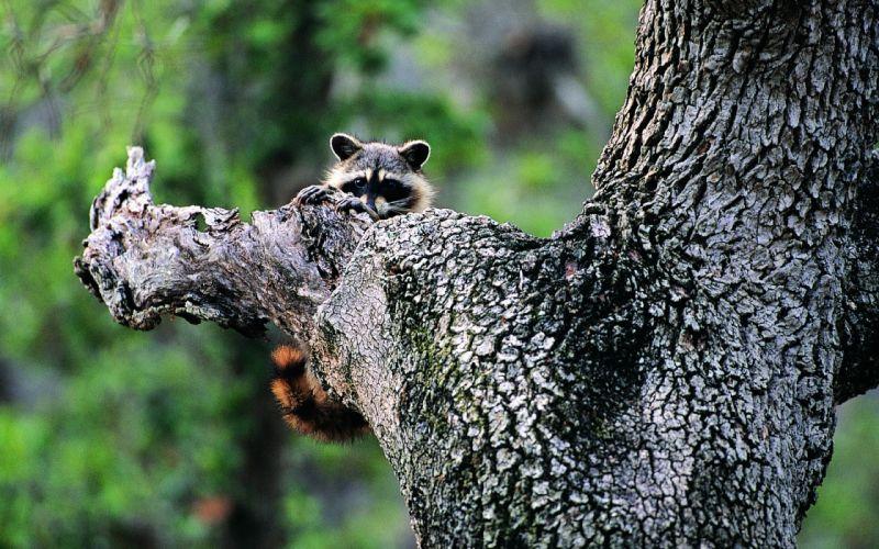 animals raccoons wallpaper