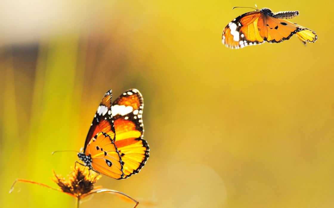 macro depth of field butterflies wallpaper