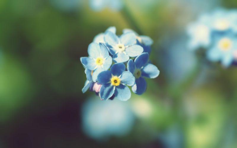 nature flowers summer Forget-me-nots wallpaper