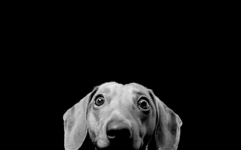 eyes black dogs funny monochrome black background wallpaper