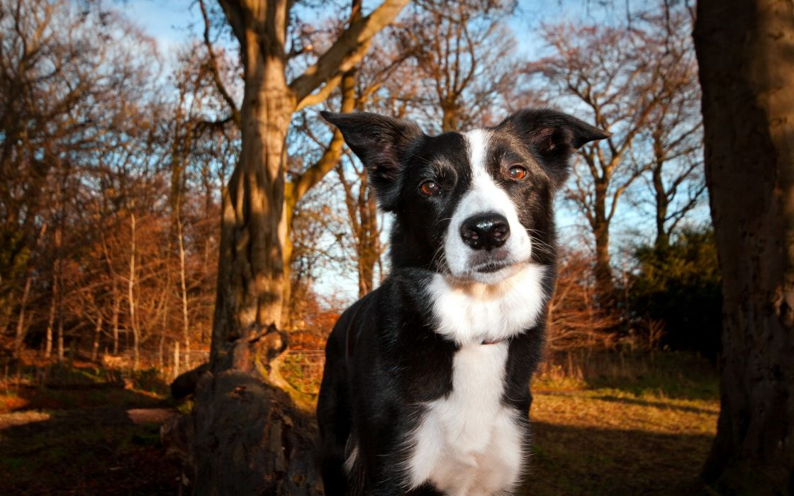 forest animals dogs border collies collie wallpaper