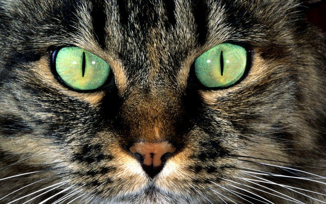 eyes cats animals wallpaper