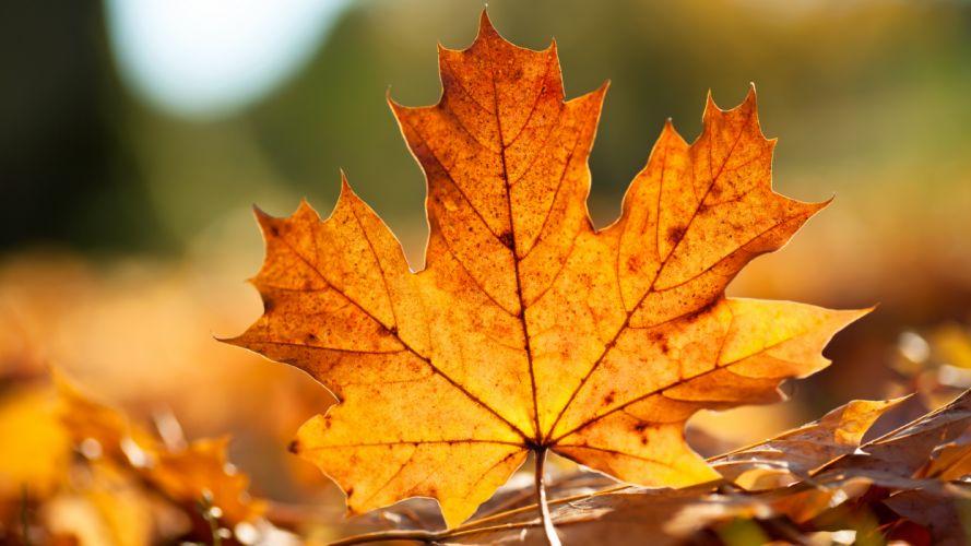 close-up leaves maple leaf fallen leaves wallpaper