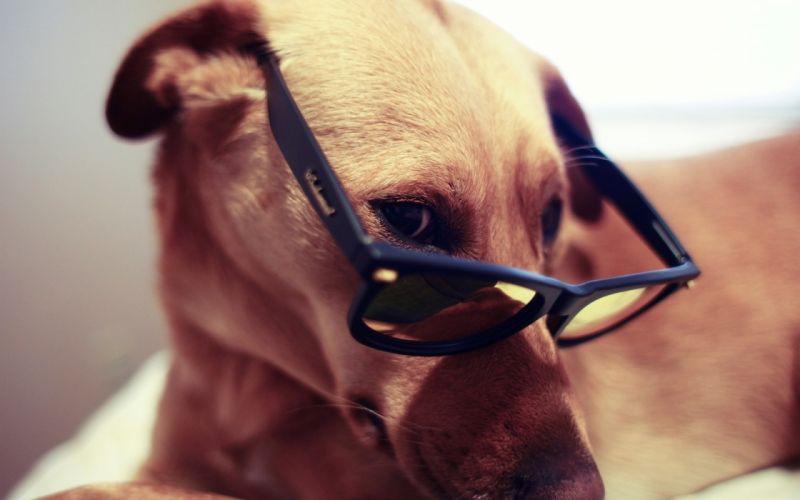 animals dogs glasses sunglasses pets wallpaper