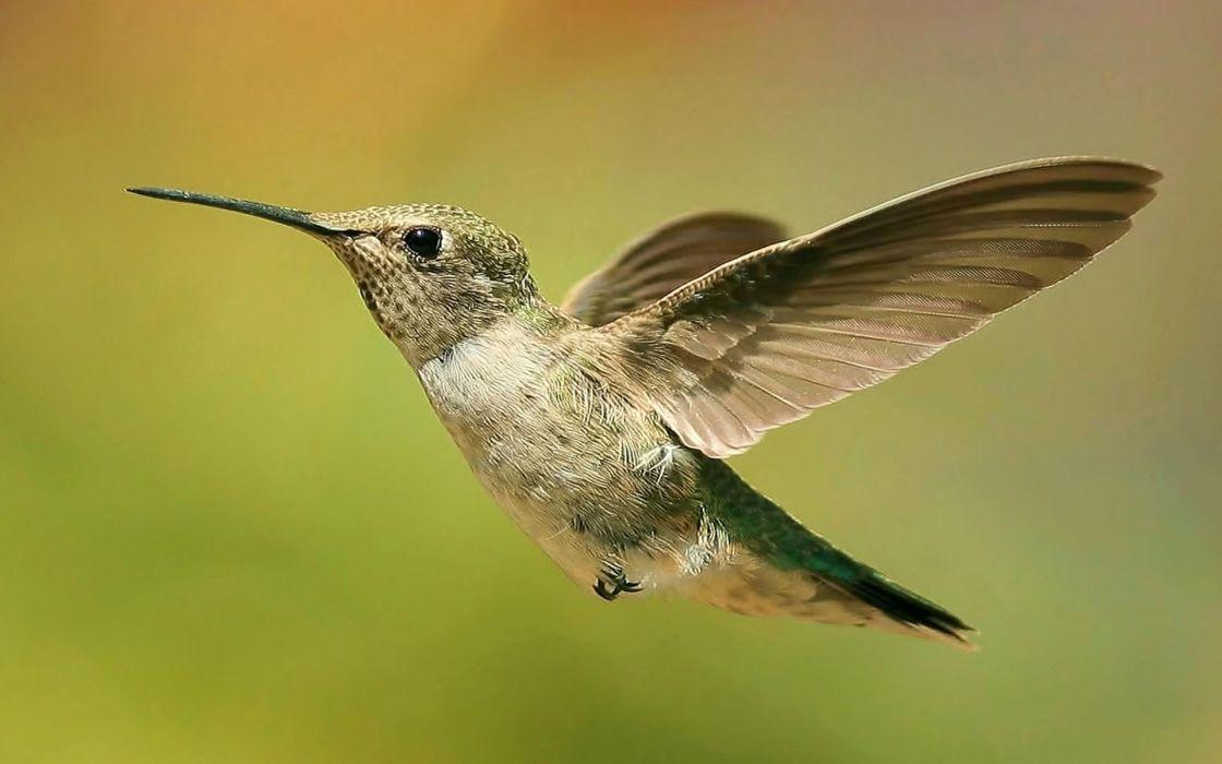 nature birds hummingbirds depth of field wallpaper