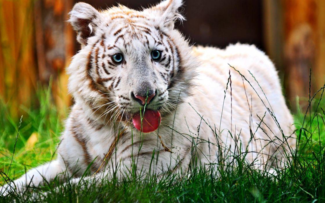 nature tigers wallpaper