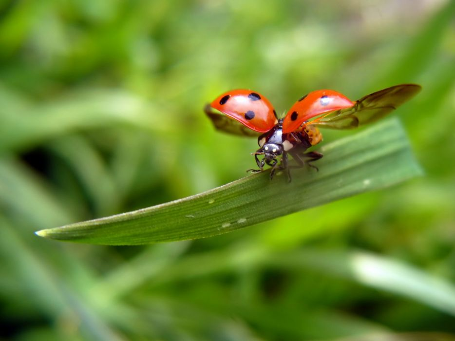 nature insects flight ladybirds wallpaper