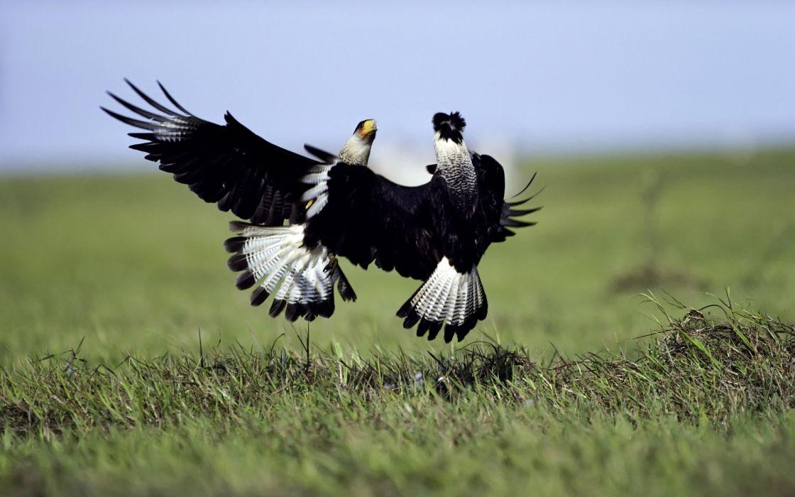 birds fight falcon bird wallpaper