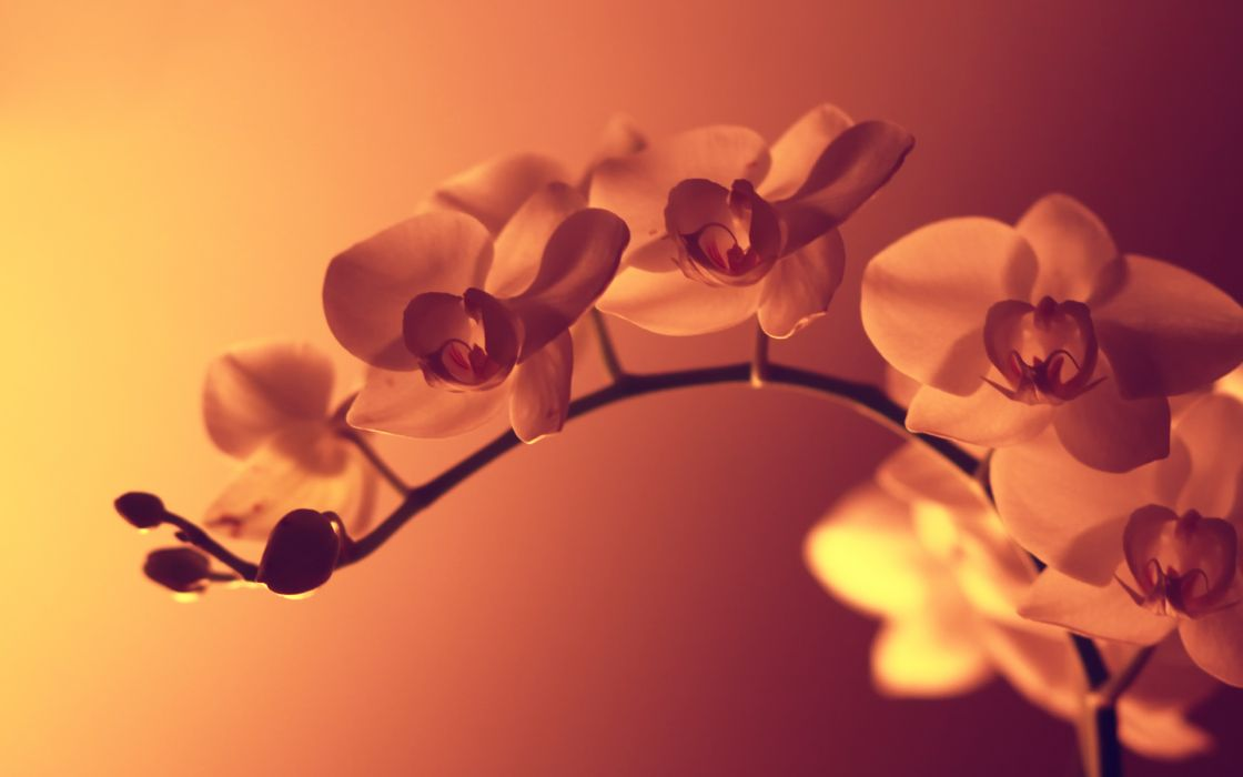 nature flowers pink filter orchids pink background wallpaper
