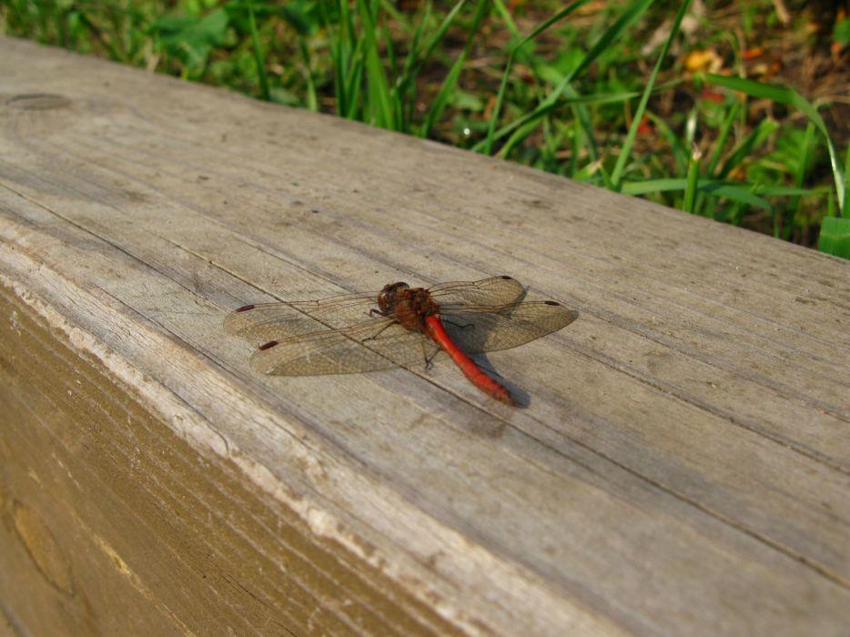 nature creatures dragonflies wallpaper