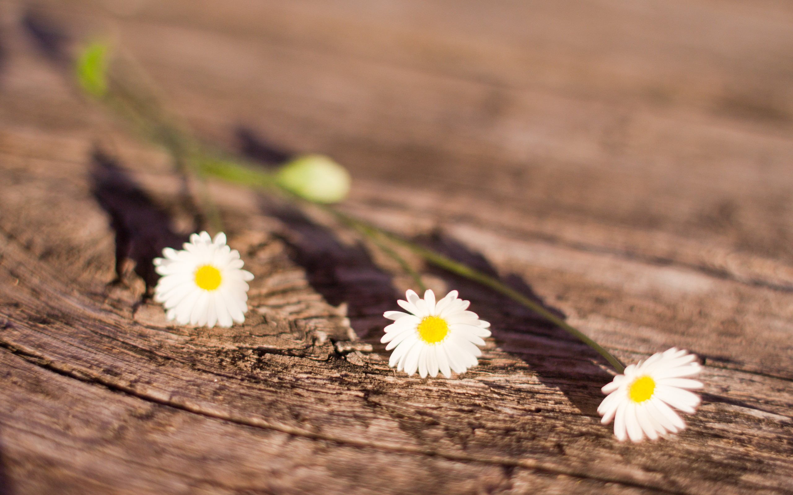 flowers depth of field white flowers wooden floor
