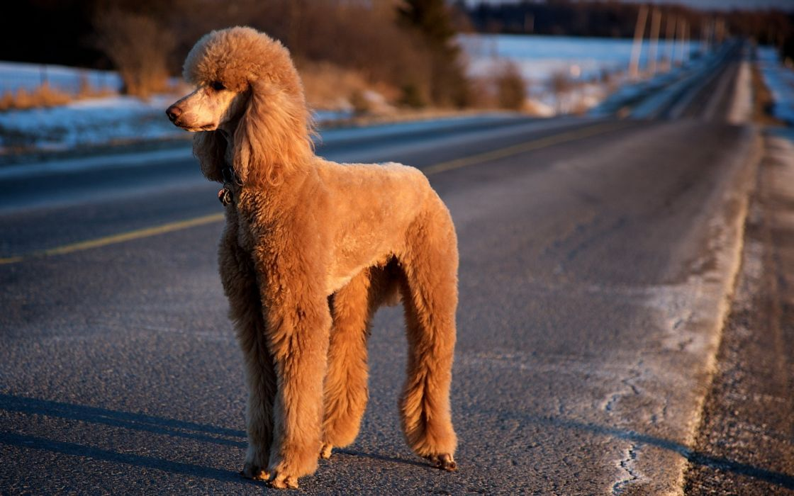 animals dogs pets poodle wallpaper