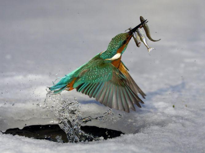 water ice nature birds animals fish kingfisher wallpaper