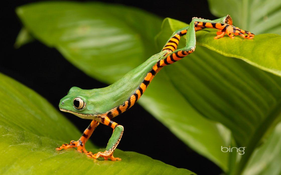 frogs lemur amphibians wallpaper