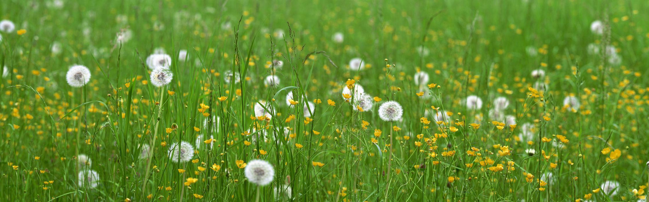 meadow dandelions wallpaper