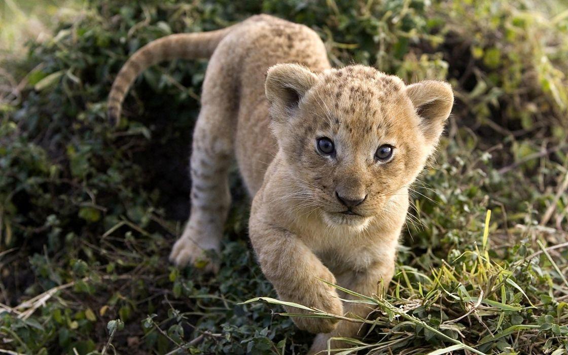 animals cubs lions wallpaper