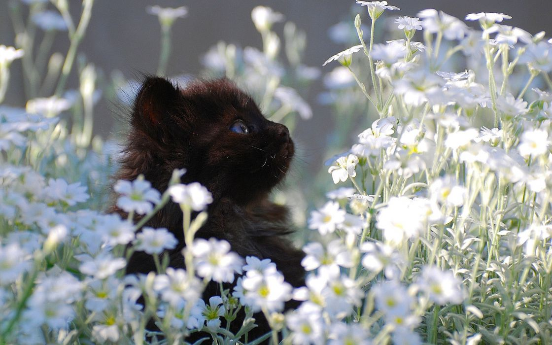 black flowers cats blue eyes kittens wallpaper