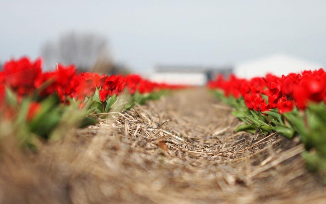 path tulips wallpaper