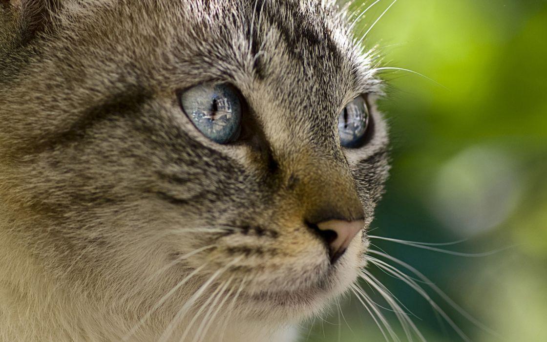 close-up eyes cats animals wallpaper