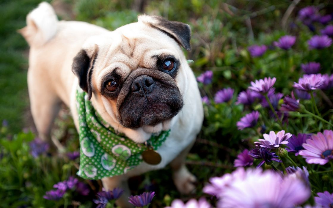 dog pug garden flowers face eyes wallpaper