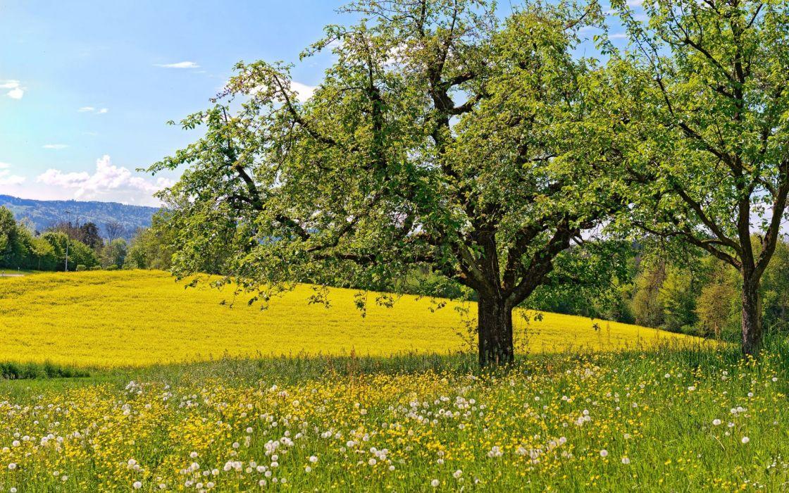 meadow flowers dandelions trees spring landscapes fields wallpaper