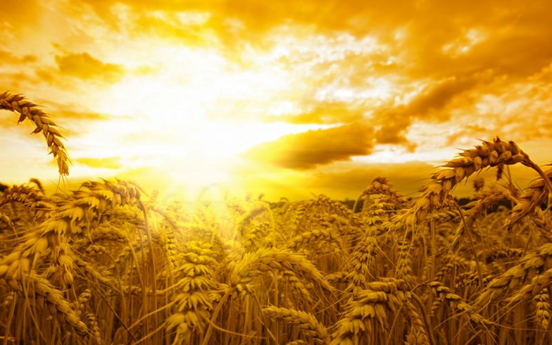 sunrise sunset fields landscapes wheat grass sky clouds wallpaper