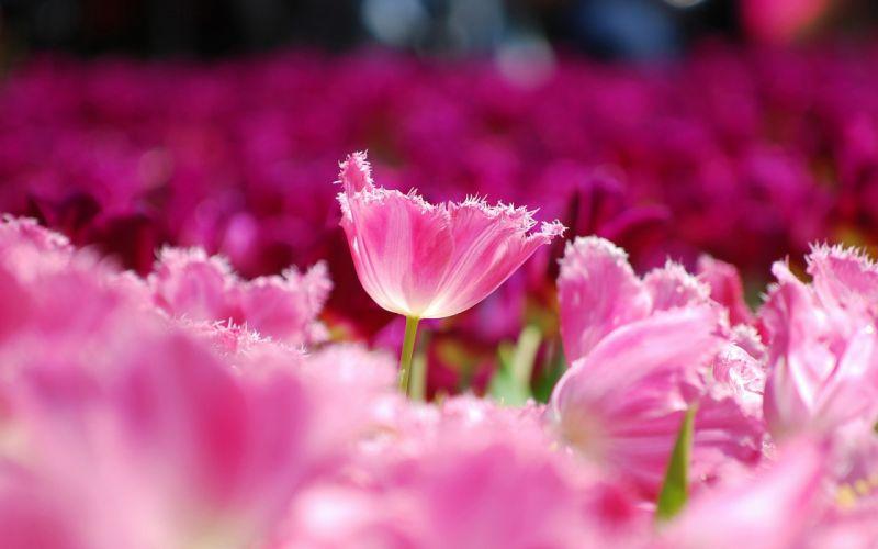 Tulips pink petals flowers field close-up blurred macro wallpaper