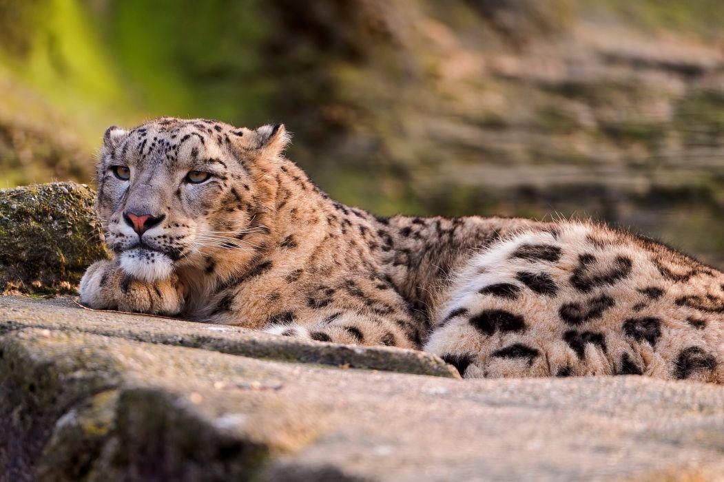 snow leopard face eyes spots pattern wallpaper